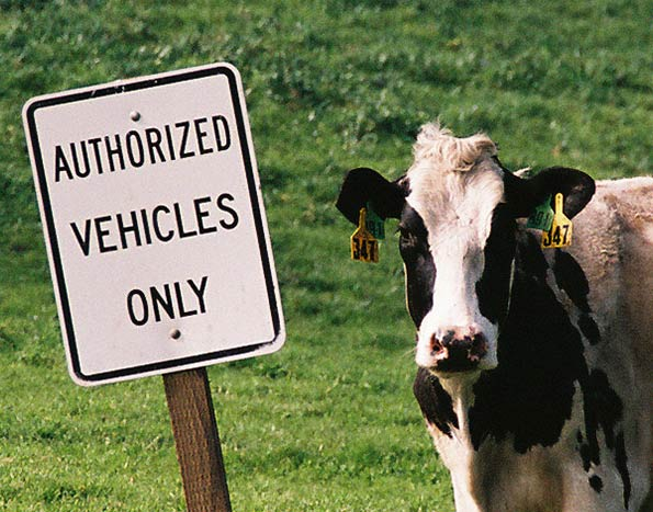 Authorized Vehicles Only sign next to Cow